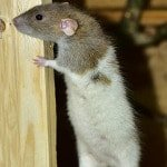 mouse showing pest infestation in crawlspace