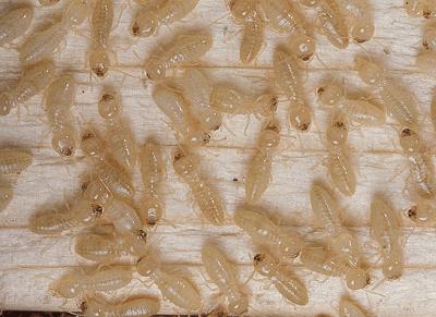 Termites in Crawlspace
