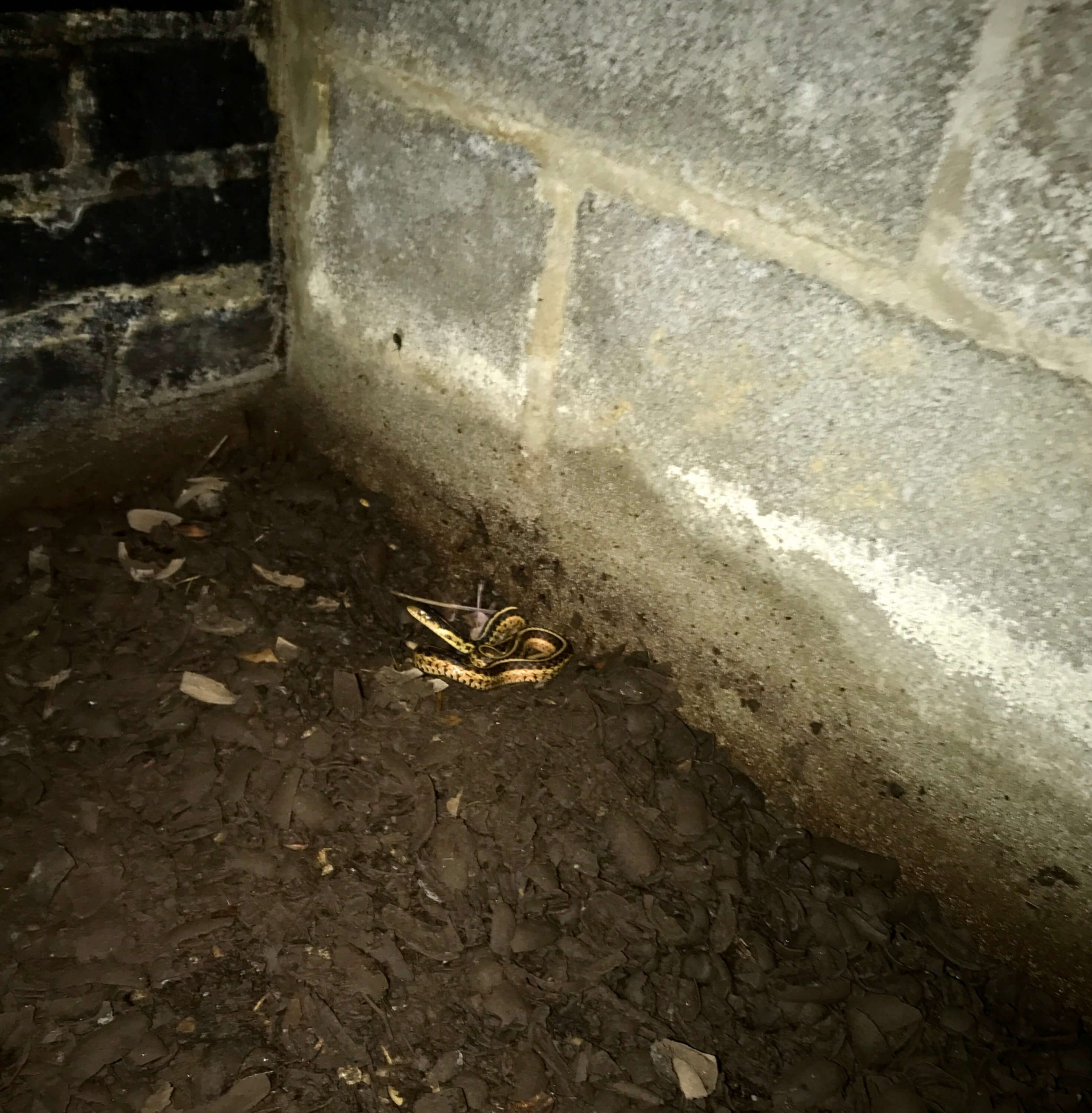 Snake in Crawlspace